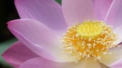 lotus-3273085_1920